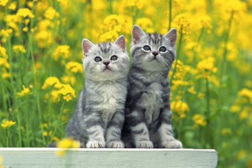 Stock Photo: 4029R-352285 Two American Shorthair Cats Standing on a White Stool, Surrounded By Yellow Flowers, Front View, Differential Focus