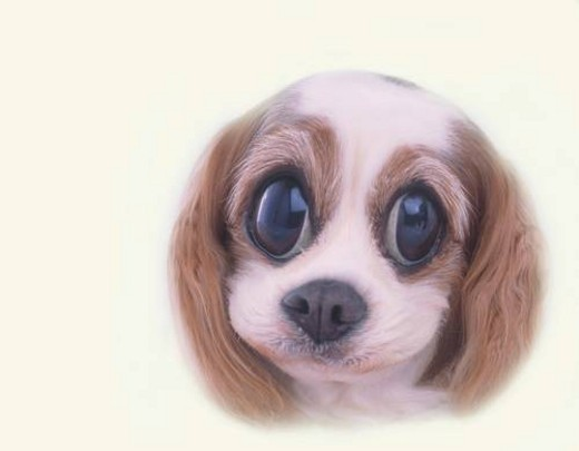 Puppy with Big Cute Eyes, Front View, CG : Stock Photo