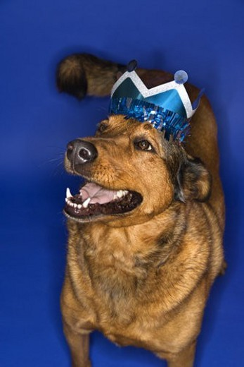 Mixed breed brown dog wearing crown. : Stock Photo
