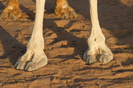 Stock Photo: 4029R-356077 sand, dubai, desert, uae, emirates, camel, foot