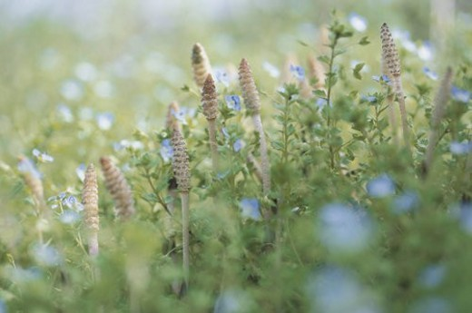 Field Horsetails : Stock Photo