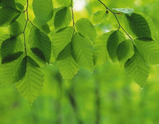 Fresh green leaves : Stock Photo