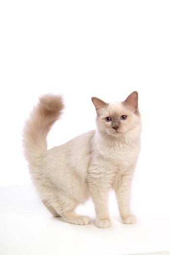 domestic cat, Birman, feline, domestic animal, birman, cat : Stock Photo