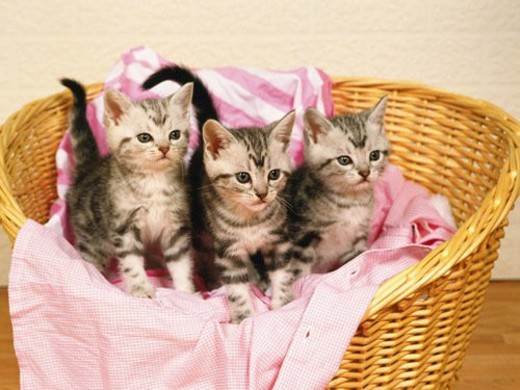 Three American Shorthair Cats Sitting in a Laundry Basket, Looking Sideways, High Angle View : Stock Photo