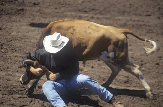 Steer Wrestling : Stock Photo