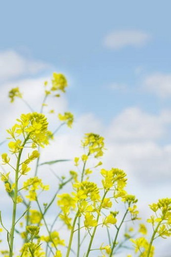Rape blossoms against a blue sky : Stock Photo