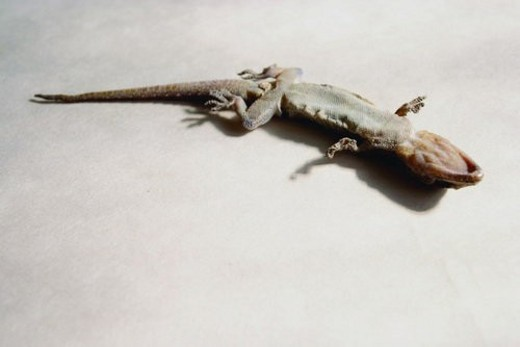 Stock Photo: 4029R-360651 Life, Upside Down, Death, White Background, Lizard, Stuff