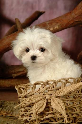 house pet, domestic, cute, loving, canines, maltese : Stock Photo