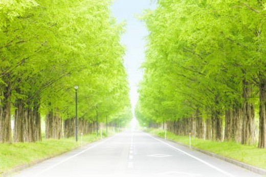 Metasequoia trees lining street, Takashima, Shiga Prefecture, Japan : Stock Photo