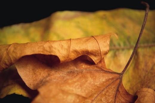 Stock Photo: 4029R-362020 Nature, Leaf, Leaves, Tree, Botany, Botanical, Autumn