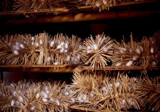 Stock Photo: 4029R-362363 silk farming, animal, cocoon