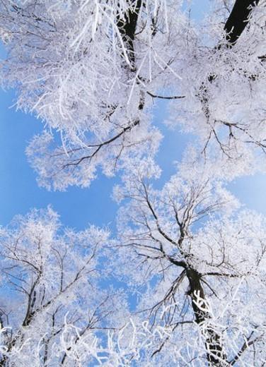 Upward view of snow pines on Wusong Island, Jilin : Stock Photo
