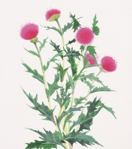 Thistle, close up : Stock Photo