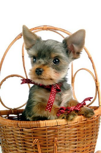 domestic, yorkshire, yorkie, yorky, terrier, yorkshire terrier : Stock Photo