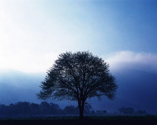 Stock Photo: 4029R-369996 Big Tree, Silhouette, Front View, Pan Focus
