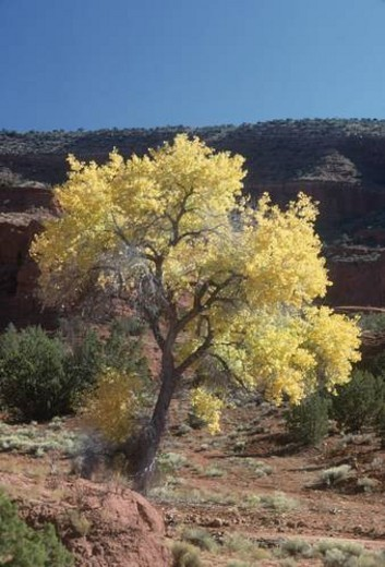 Cottonwood tree with red sandstone in autumn, New Mexico, USA : Stock Photo