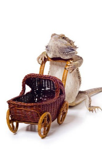 Bearded dragon pushing wicker baby carriage : Stock Photo
