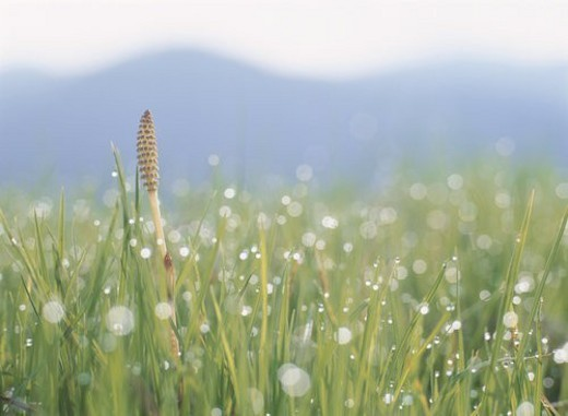 One Field Horsetail : Stock Photo