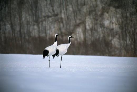 Stock Photo: 4029R-376814 Cranes