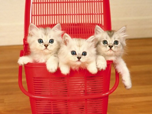 Three Kittens In a Red Plastic Basket, Front View, Differential Focus : Stock Photo