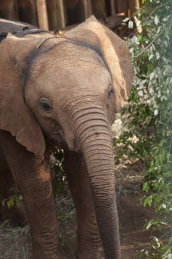 Stock Photo: 4029R-383844 Baby elephant in Kenya Africa