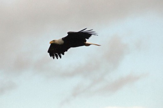 Eagle in flight : Stock Photo
