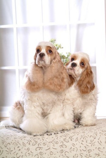 pet dog, Cocker Spaniel, American Cocker Spaniel, American Cocker Spaniel, Cocker Spaniel, pet, Spaniel : Stock Photo
