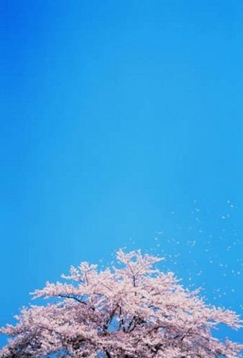 Cherry trees full of spring blossom : Stock Photo