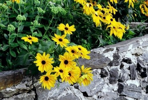 Stock Photo: 4029R-389376 Yellow daisies