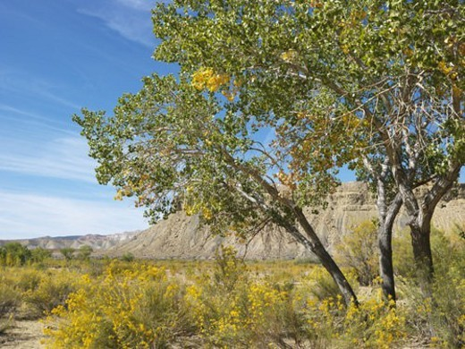 Desert landscape including Cottonwood tree, vegetation and rocky cliffs in Cottonwood Canyon, Utah. : Stock Photo