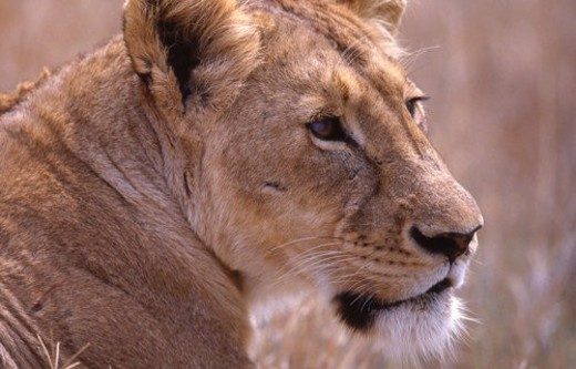 Head shot of lion, Africa : Stock Photo