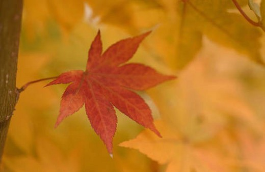 Red leaf among yellow leaves : Stock Photo