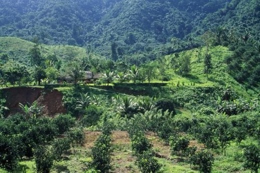 New orchard growth replacing tropical forest : Stock Photo