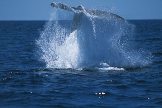 Tail of Humpback Whale : Stock Photo