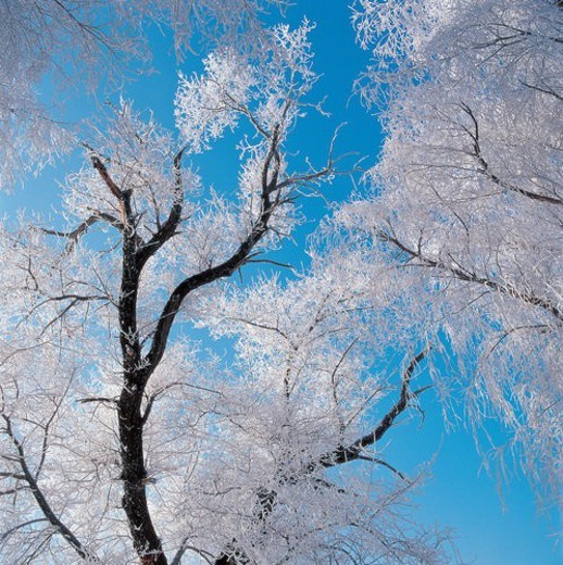 Stock Photo: 4029R-402567 Upward view of snow pines, Wusong, Songhua River, Jilin