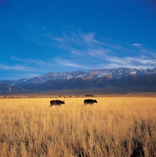Stock Photo: 4029R-406208 Cattle grazing on grassland, Tian Mountain, Sinkiang