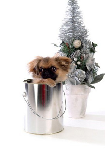 faithful, domestic animal, companion, canine, close up, pekingese : Stock Photo