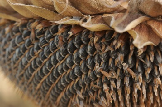 Stock Photo: 4029R-406960 detail sepals and seeds of dying sunflower