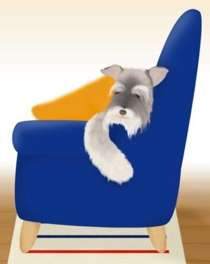 Miniature Schnauzer sleeping on sofa, front view, differential focus : Stock Photo