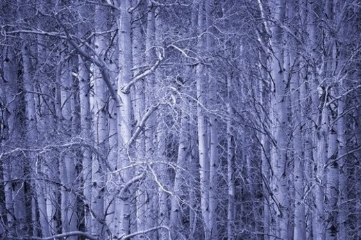Blue forest : Stock Photo