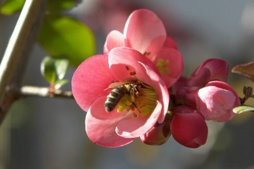 Stock Photo: 4029R-409670 blooms, bee wings, bloom dusting, berne, bees, blumenstaengel, animals