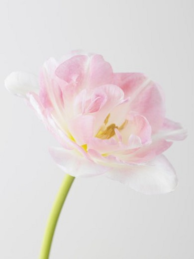 Stock Photo: 4029R-410994 Tulip