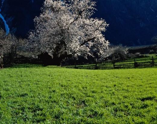 Stock Photo: 4029R-414321 Grassland and peach flowers, Cha Yu, Tibet