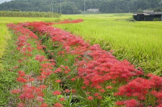 Red cluster amaryllis and a paddy field : Stock Photo