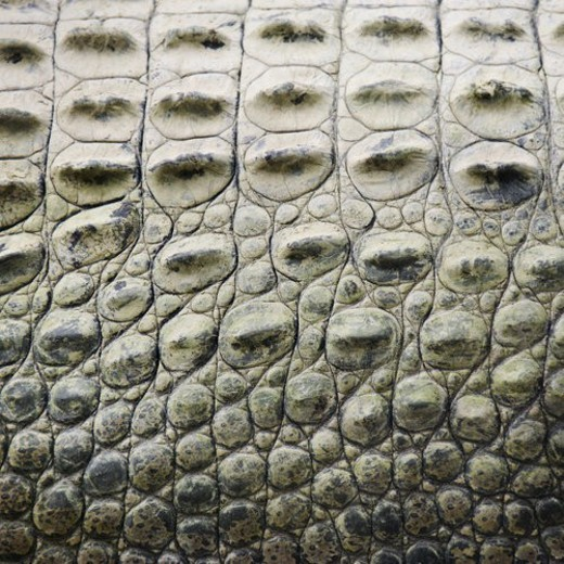 Close up of side of crocodile showing scaly skin, Australia. : Stock Photo