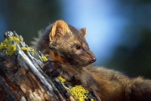 Marten (Martes americana) on mossy tree stump : Stock Photo
