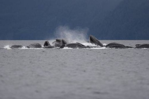 Adult humpback whales (Megaptera novaeangliae) cooperatively bubble-net feeding in Freshwater Bay on Chichagof Island in Southeast Alaska, USA. Pacific Ocean. This event lasted over three hours with a : Stock Photo