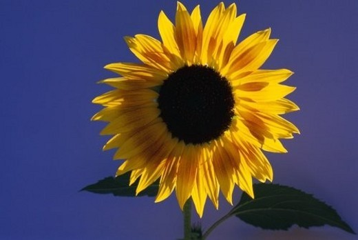 Blooming sunflower : Stock Photo