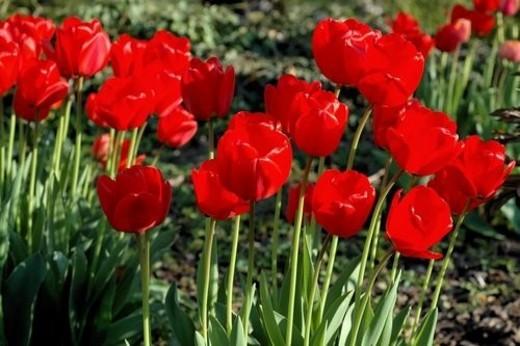 Flora, Tight, shot, mountain, mountainside, flower, tulip : Stock Photo