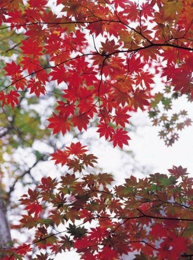 Stock Photo: 4029R-426038 plant, Leaf, Maple trees, Maple tree, Leaves, plants, maple leaves